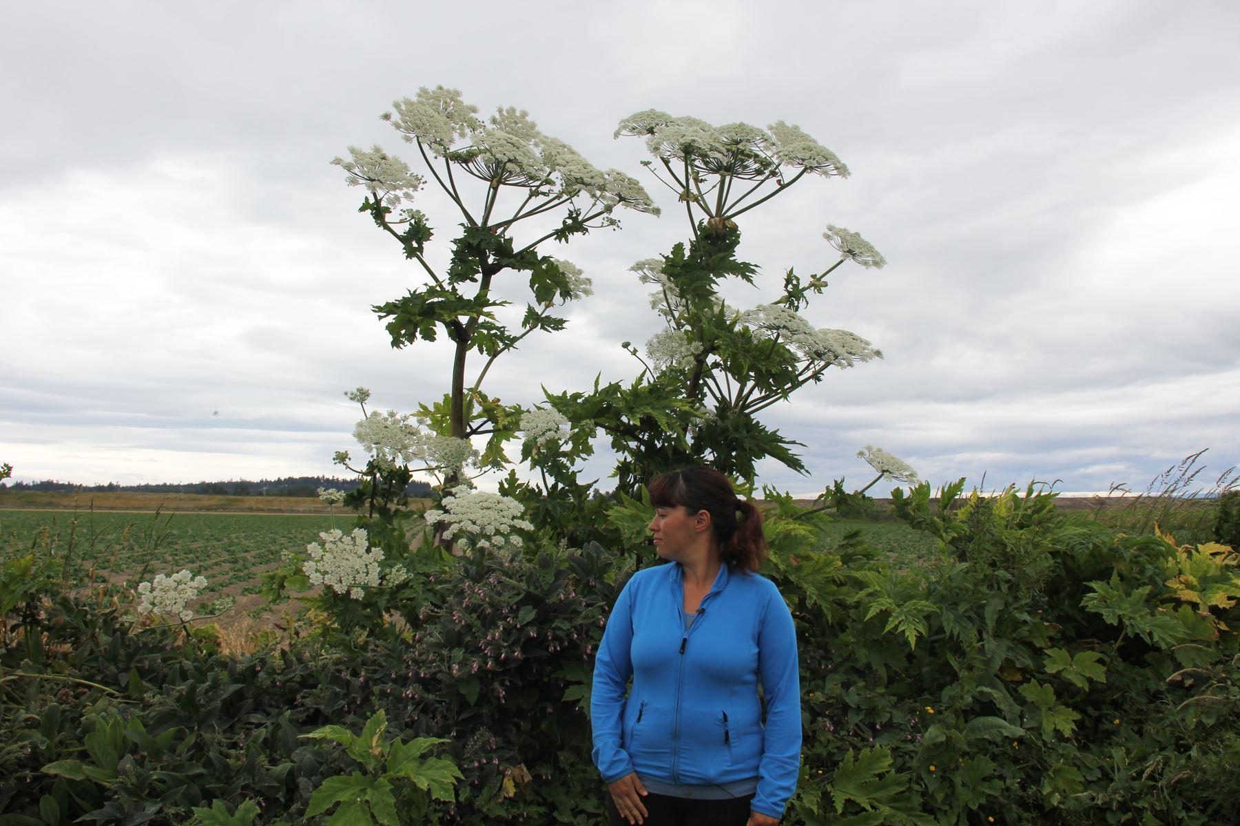Giant hogweed - IPCMV